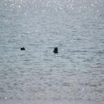 To nysgerige sæler
